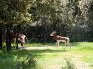 Symbolbild Montpellier Zoo: Antilope im Freigelände